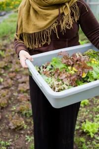 harvesting spring salad