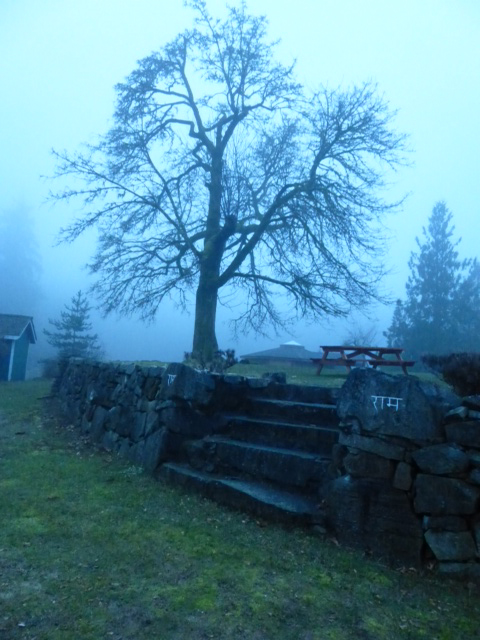 The big maple tree on the mound in the fog.