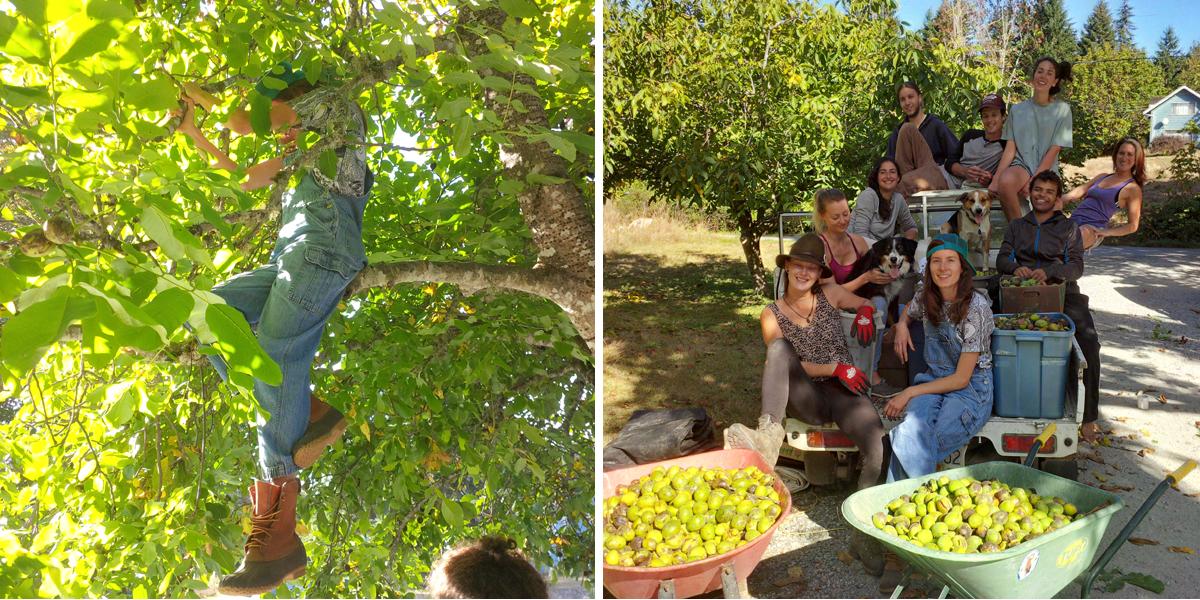 Walnut harvest and crew