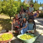 The walnut harvest crew