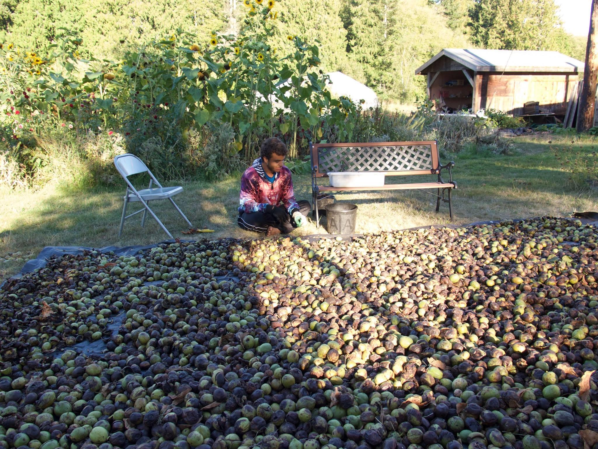 Carnel sorting the walnut bounty