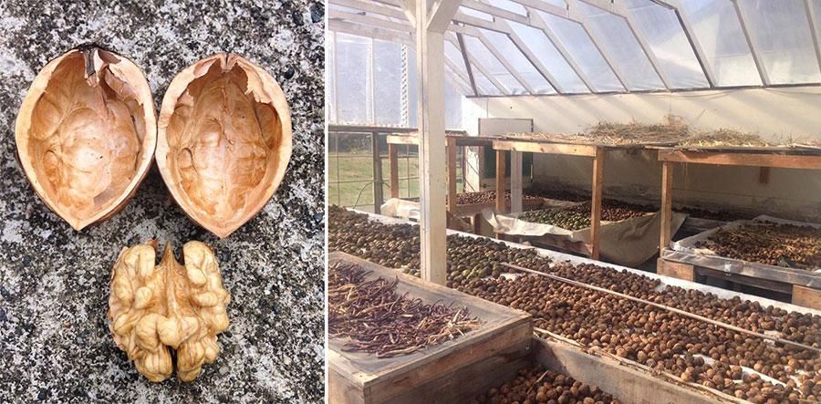sscy-walnut-harvest